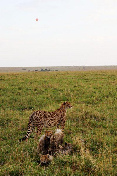 cheetah-falcon-africa